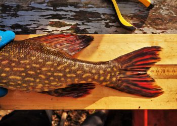 Brightly coloured fish on a plank of wood.