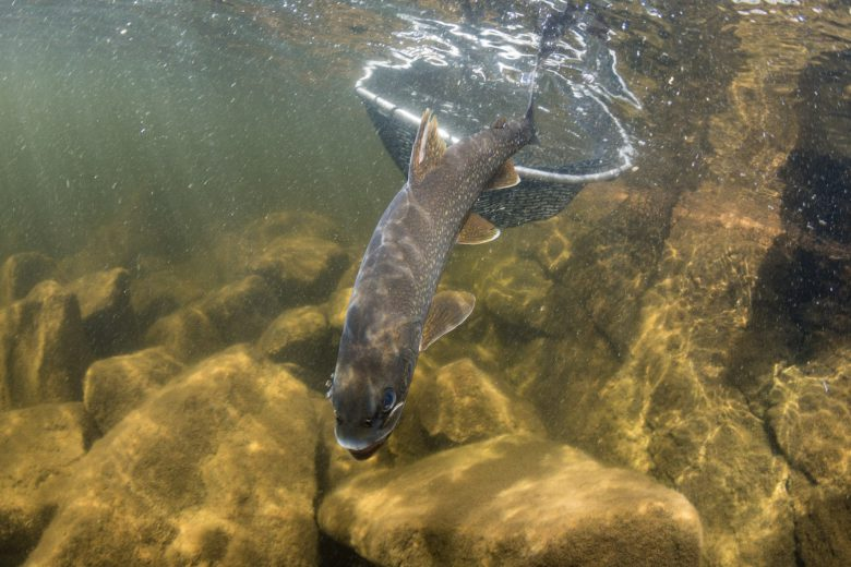 Lake trout emerges from net underwater into a fresh water lake over yellow rocks.