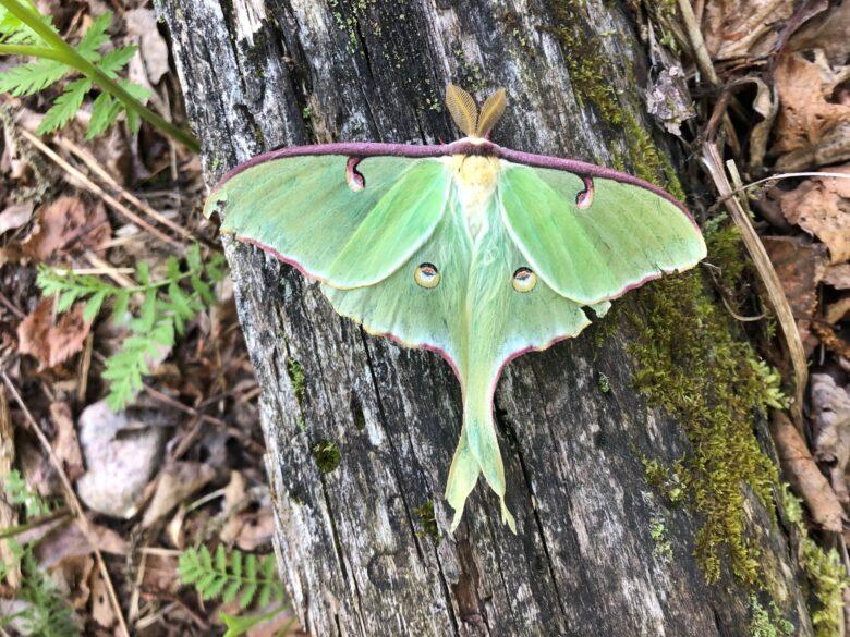 Luna moth on a log