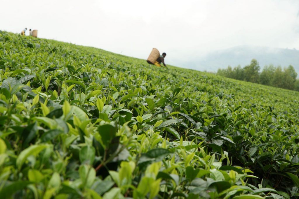 Farmer on tea plantation