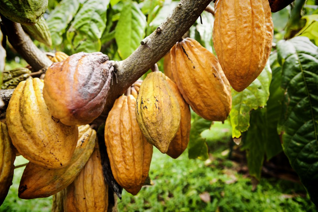 Branch with cacao