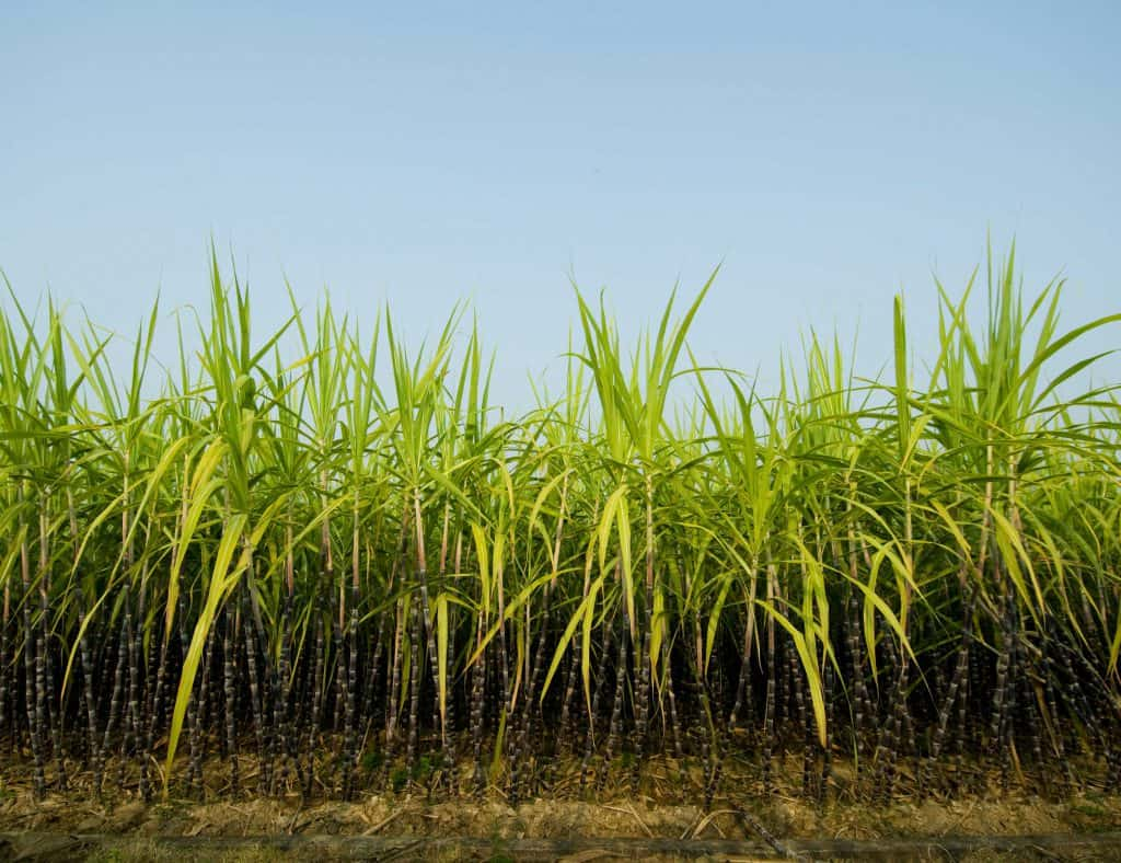 sugar cane stalks