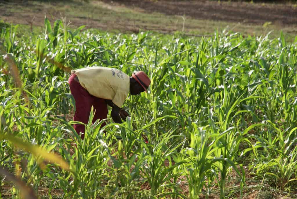 Man harvesting maize crops on a organic farm.